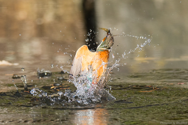 20171229-kingfisher-DSC_2949