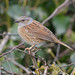 Dunnock - perched on a bush