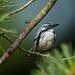 Cerulean Warlber by grobinette