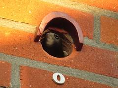 Gierzwaluw in tunnel kast O