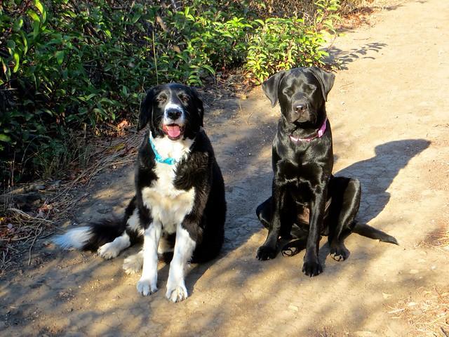 the shiniest Labrador in Malibu