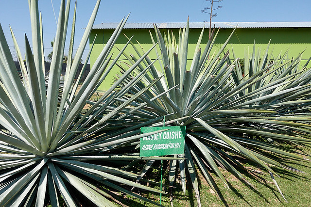 Agaves (cuishe)