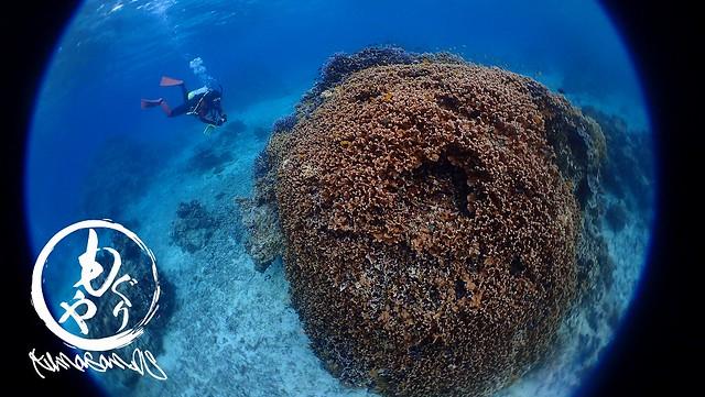 サオトメシコロサンゴかな。こちらも巨大