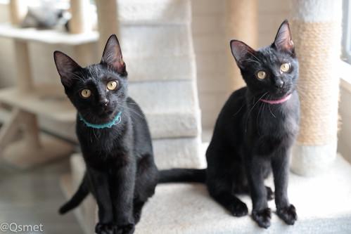 アトリエイエネコ Cat Photographer 38509671425_77e1cbf3c4 シェルター型幸せ探し猫カフェQsmet(くすめっと)