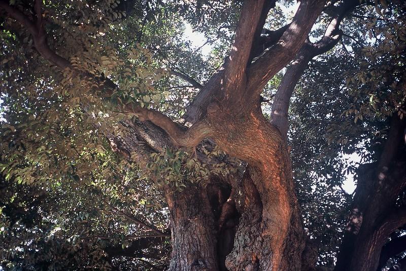 KONICA HEXAR RF+Voigtlander Color Scopar 35mm f2.5谷中霊園の大樹