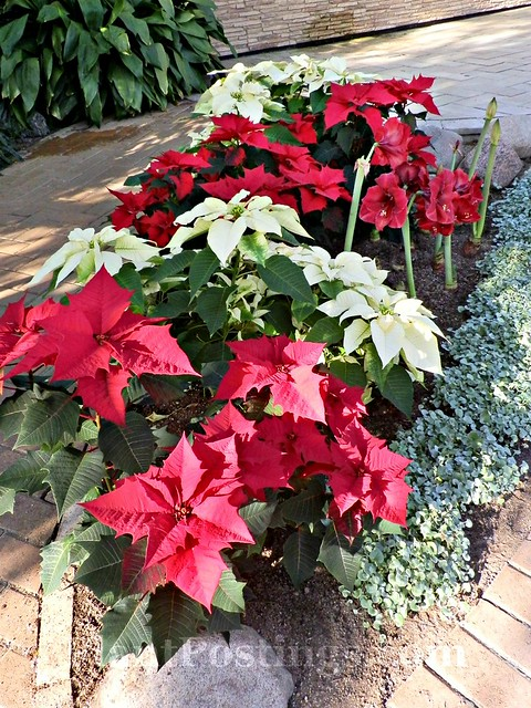 Poinsettias and amaryllises
