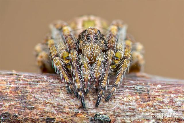 Orb weaver spider (Araneidae) - DSC_4430