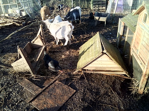 wrecked goat shed Jan 18