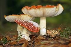 Mushroom/fungus