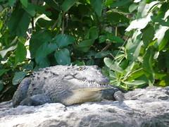 Alligator sunbathing