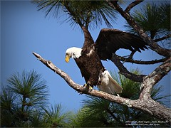 Bald Eagles shoot, 2013-12-22,Palm Harbor,Fl._IMG_2707_