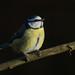 Blue Tit perch