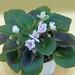 非洲紫羅蘭 Saintpaulia Petite Blarney Sport   [香港北區花鳥蟲魚展 North District Flower Show, Hong Kong]