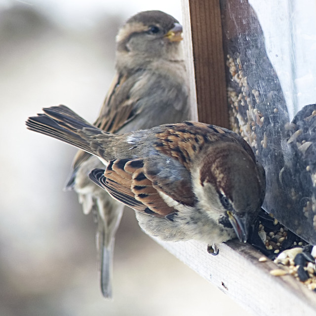 Sparrows at the Feeder