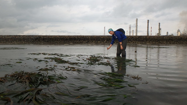 Tape seagrass (Enhalus acoroides) flowering