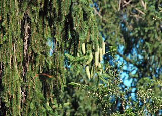 Picea abies (Norway spruce) 4