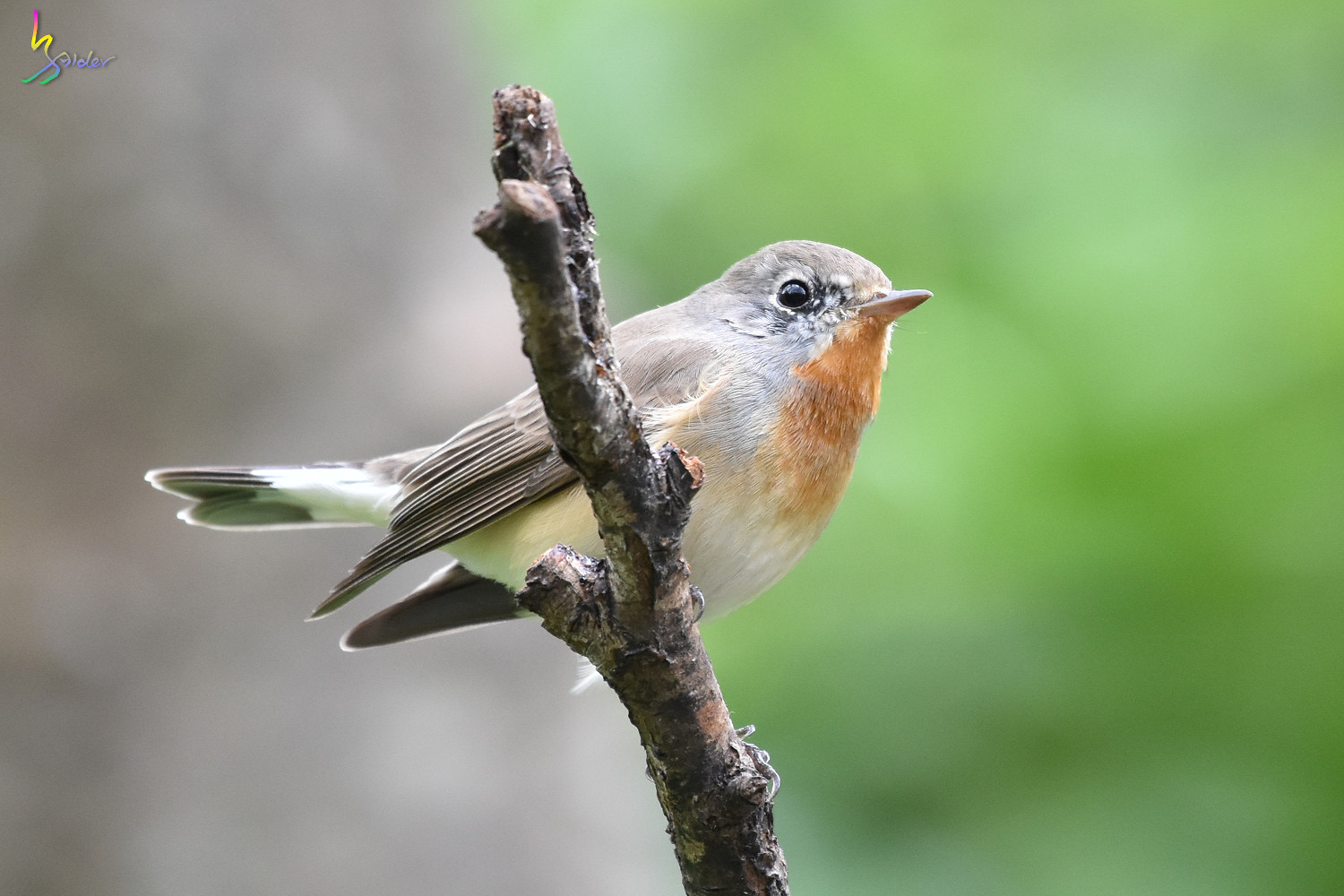 Red-breasted_Flycatcher_1130