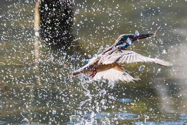 20171225-kingfisher-DSC_2667
