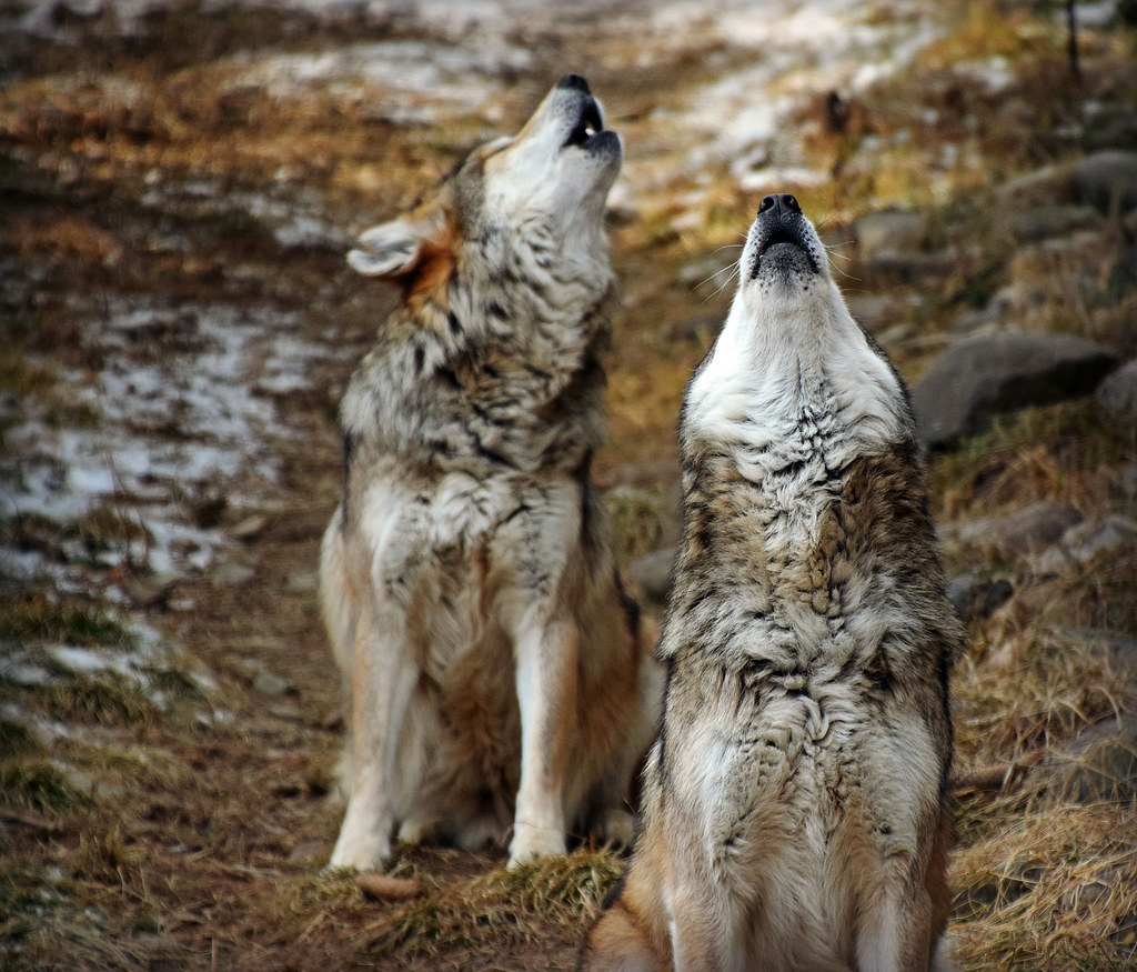 Howling in Harmony