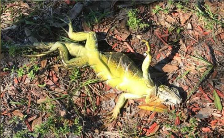 0001frozen-iguana