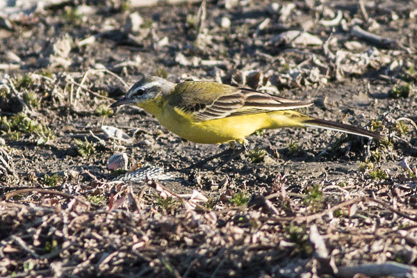 Yellow Wagtail - race beema