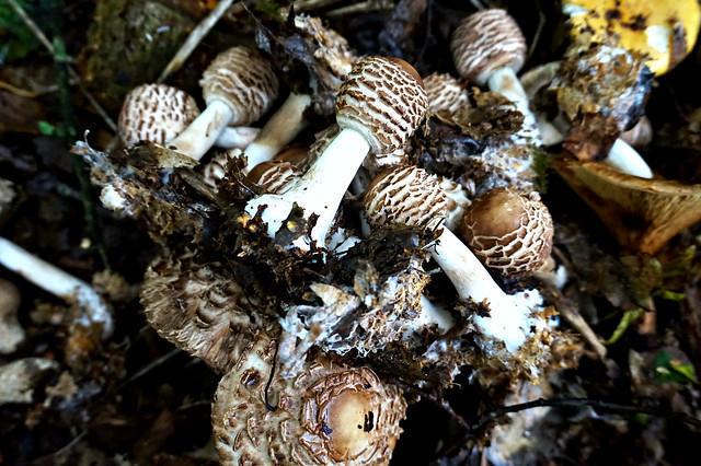 Chlorophyllum rhacodes. (Shaggy Parasol)