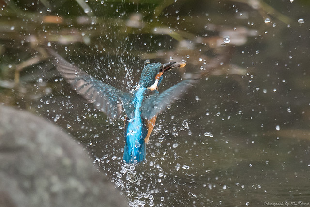 20171224-kingfisher-DSC_1826