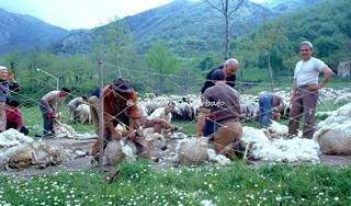 Bagnoli Irpino (AV), 1979, La tosa primaverile delle pecore.