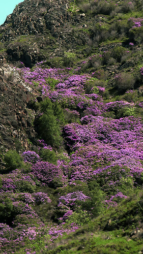 Purple Rhododendrons in Snowdon National Park in Wales