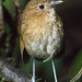 Brown-banded Antpitta by Christine Miller