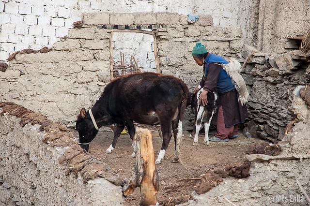Mujer de Ladakh con un ternero en Lamayuru