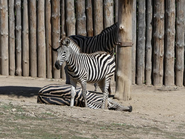 Zebra, Zoo Brno