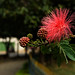 Powder puff (Calliandra hematocephala).