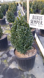 Buxus sempervirens cone 3 gal. 15-18 | by Johnson Farms