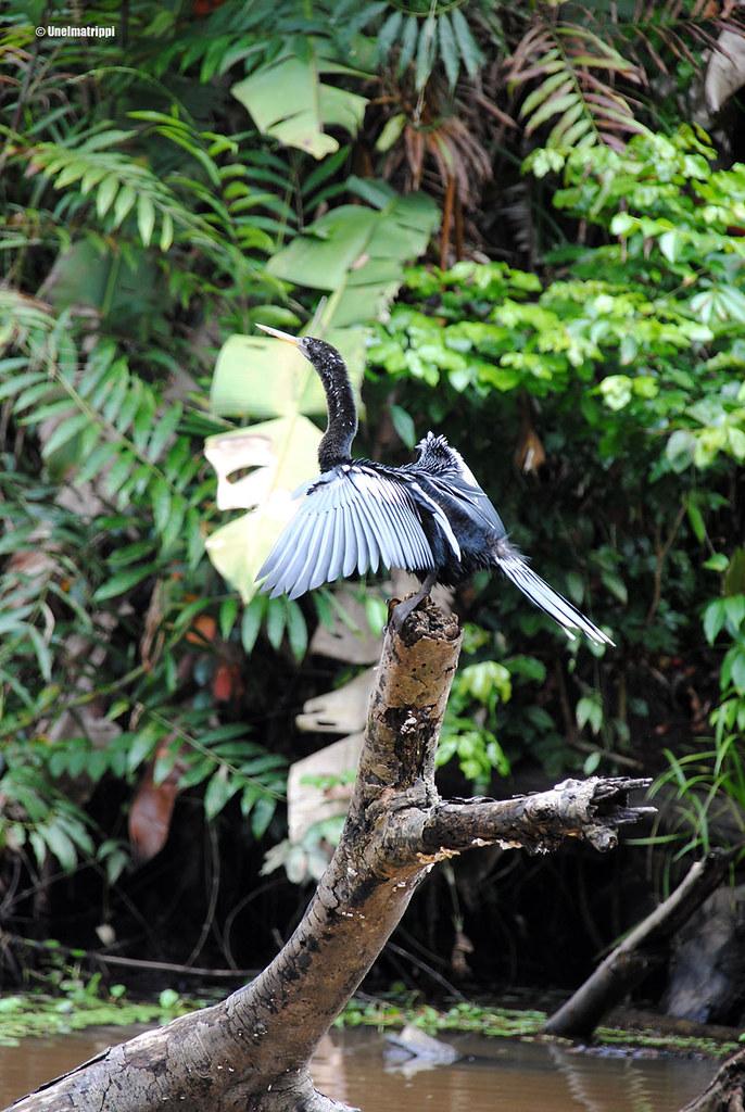 Lintu viidakossa, Turtogueron kansallispuisto, Costa Rica