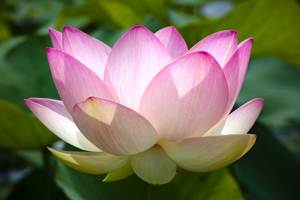 close-up photo of blooming lotus flower