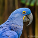 Blue and Gold Macaw at Moody Gardens