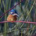 Kingfisher, Female-