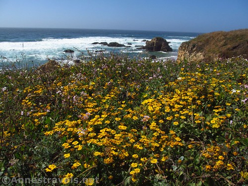 Corn daisies and seaside daisies along the trail north of Glass Beach, California