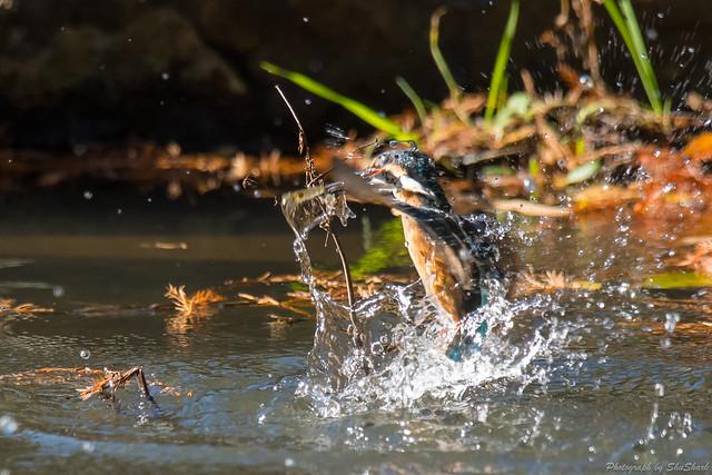 20171209-kingfisher-DSC_0363