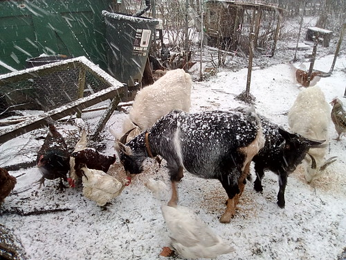 goats in snow Dec 17 (3)