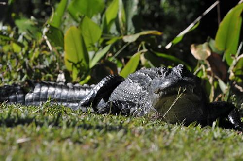 Gator story, pt 3
