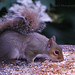 41 Squirrel