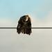 Common Buzzard  -  Mäusebussard