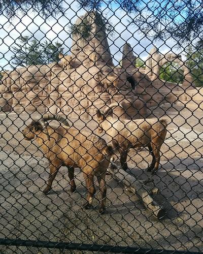 West Caucasian tur (2) #toronto #torontozoo #goats #ibex #westcaucasiantur #latergram