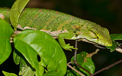 Many-colored Bush Anole (Polychrus marmoratus)