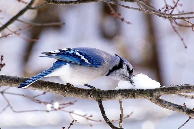 Blue Jay Enjoying Some Snow