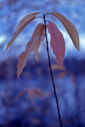 Wilting Leaves - 1984