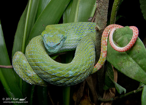 Trimeresurus hageni_MG_9249 copy