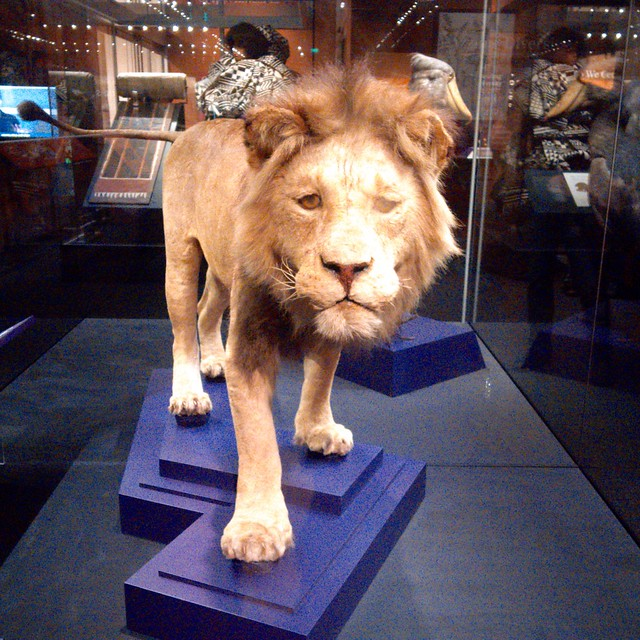 Lion that Teddy Roosevelt Shot in Africa; at the Smithsonian Natural History Museum